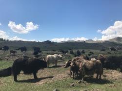 Yacks poilus en Mongolie