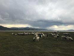 Moutons au bord du lac blanc en Mongolie