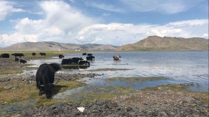 Les Yacks en Mongolie